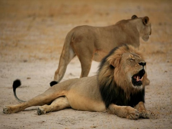Gujarat: 313 lion deaths in 2 years, minister tells Assembly