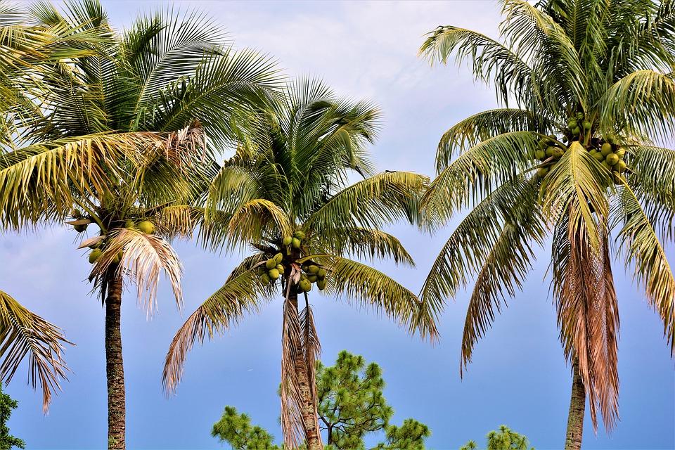 Belgian scientists claim breakthrough in cloning coconut trees