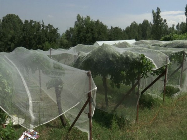 J-K: Better infrastructure under Rashtriya Krishi Vikas Yojana boosts grape production in Ganderbal