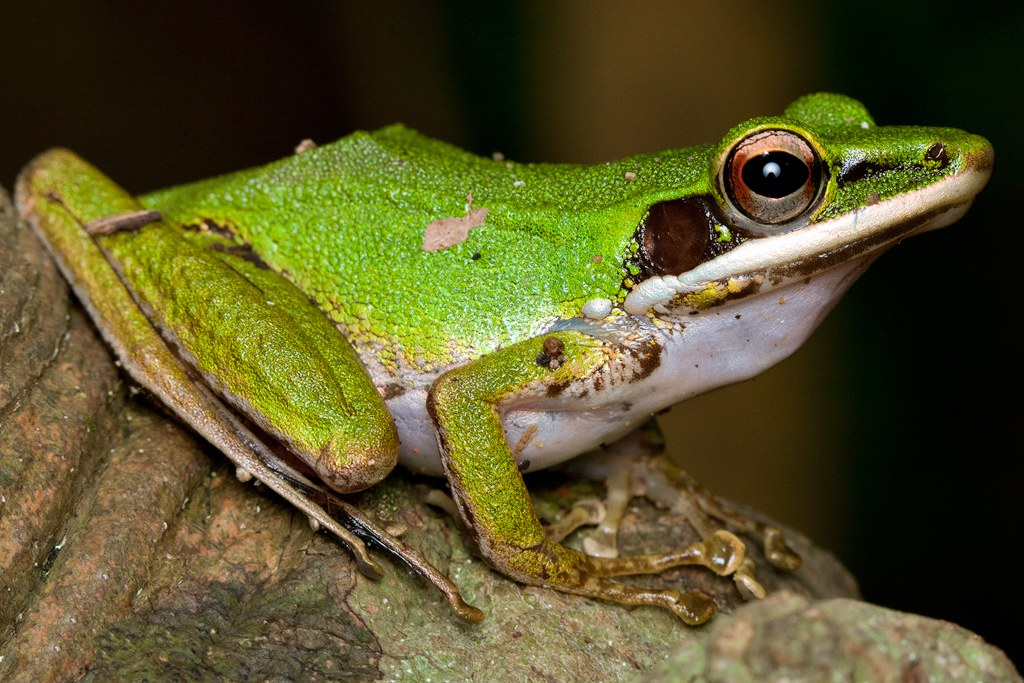 """Mahabali frog"" may be Kerala's official amphibian"