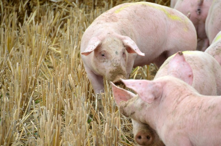 Philippine farm official warns hog traders as swine fever spreads
