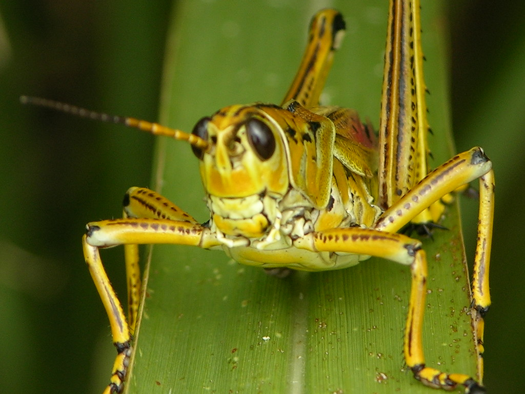 Health-Locust outbreak in Rajasthan's Barmer, Jaisalmer districts