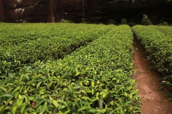 Tea exports dip by three percent in 2019