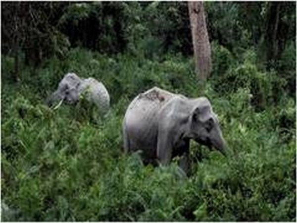 Carcass of 'missing' elephant found in Odisha river