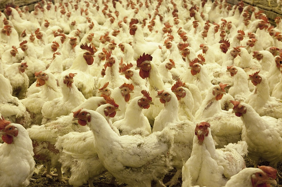 Drive to cull poultry birds starts in Haryana's Panchkula