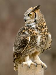 Owl used as therapy during illness in England