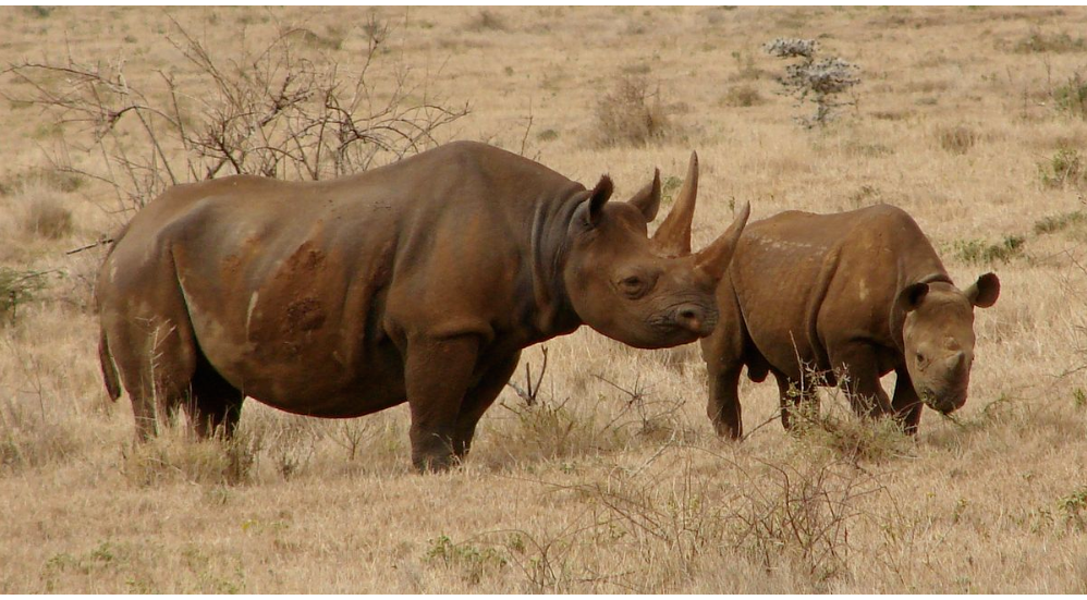 S. African researchers hope to deter rhino poachers with radioactive markers