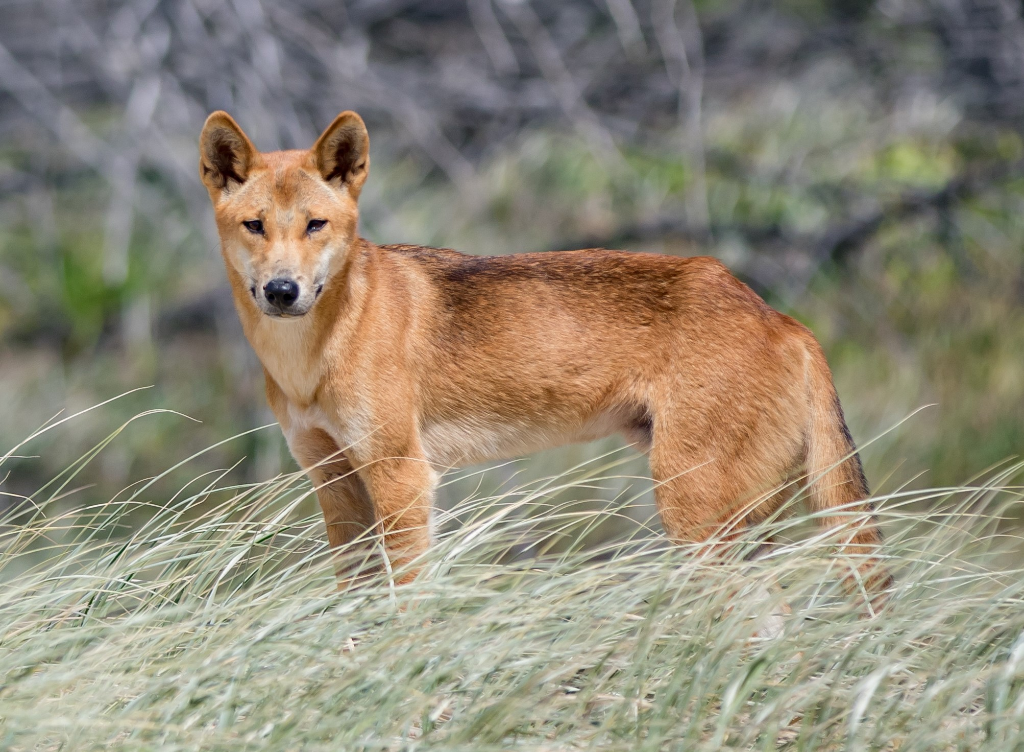 Australian researchers sound confident say dingo is not a dog, a new species