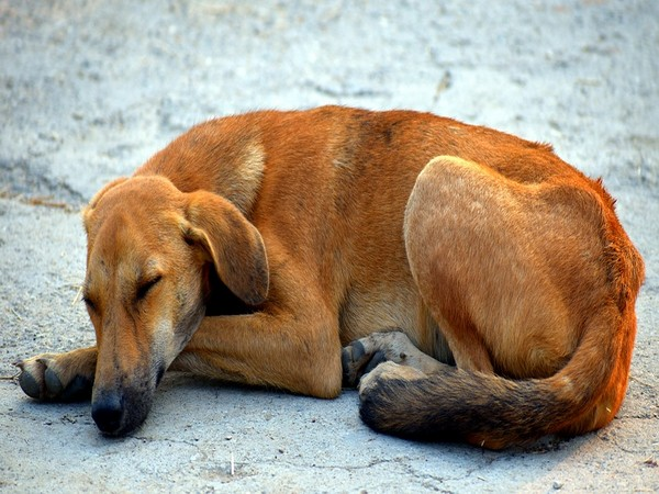 Video of dog being dragged goes viral, FIR registered in Aurangabad