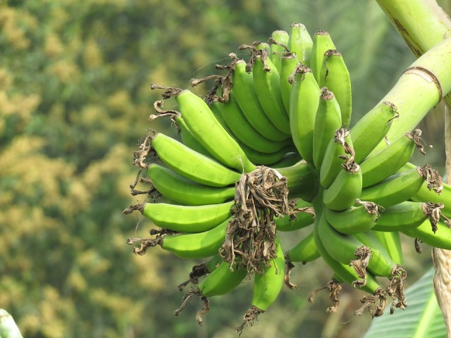 Climate change may cause decline in India's banana cultivation: Study