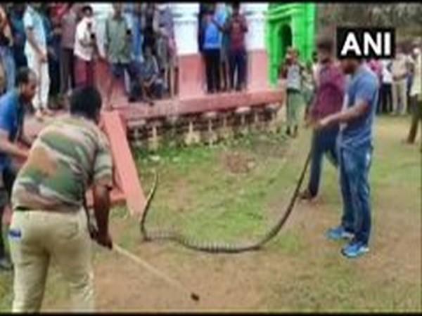 10-feet long King Cobra rescued in Odisha's Ganjam