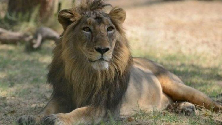 Gir sanctuary lion found dead amid concerns