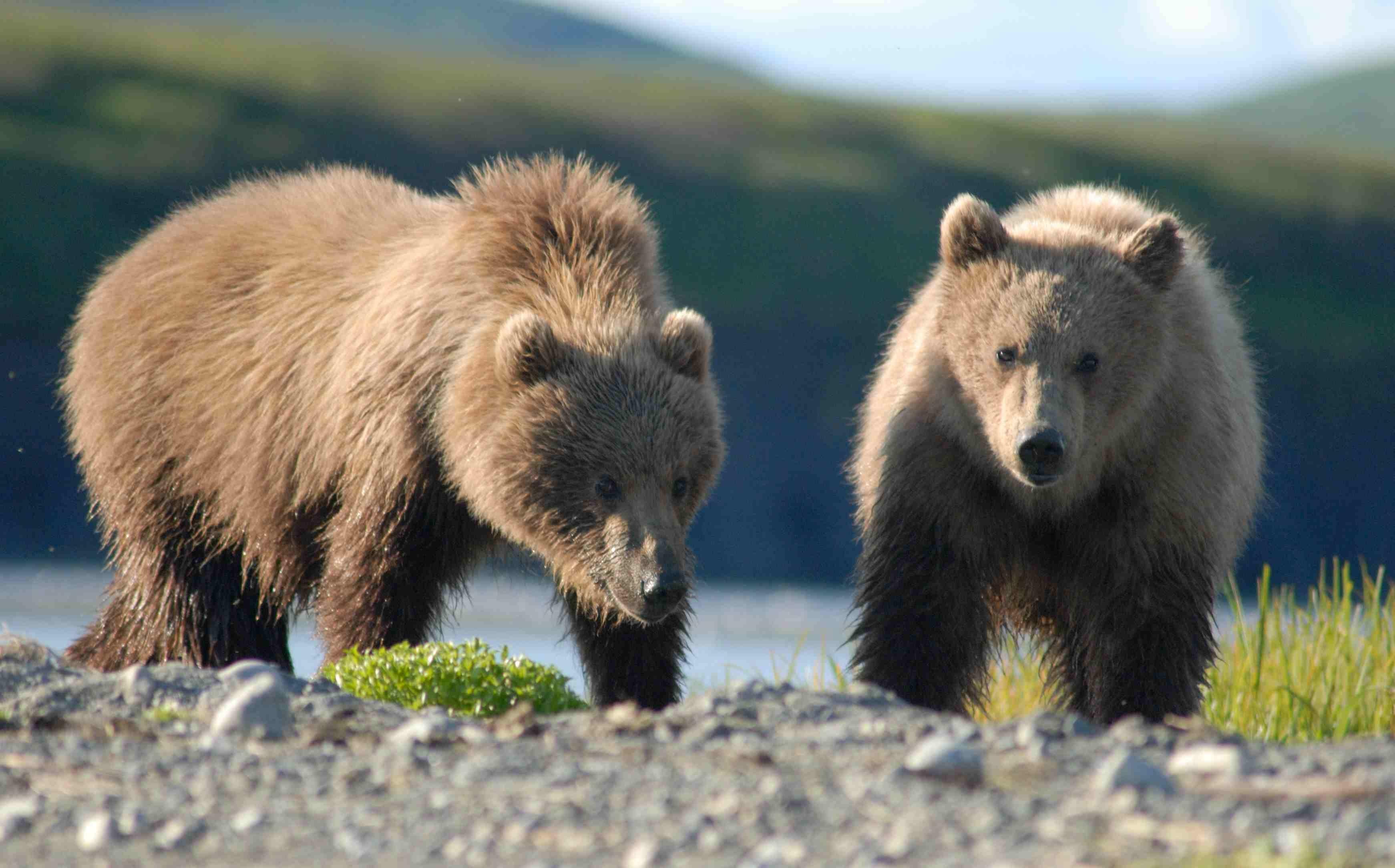 CORRECTED-Fat is fabulous for bears in Alaska's Katmai National Park