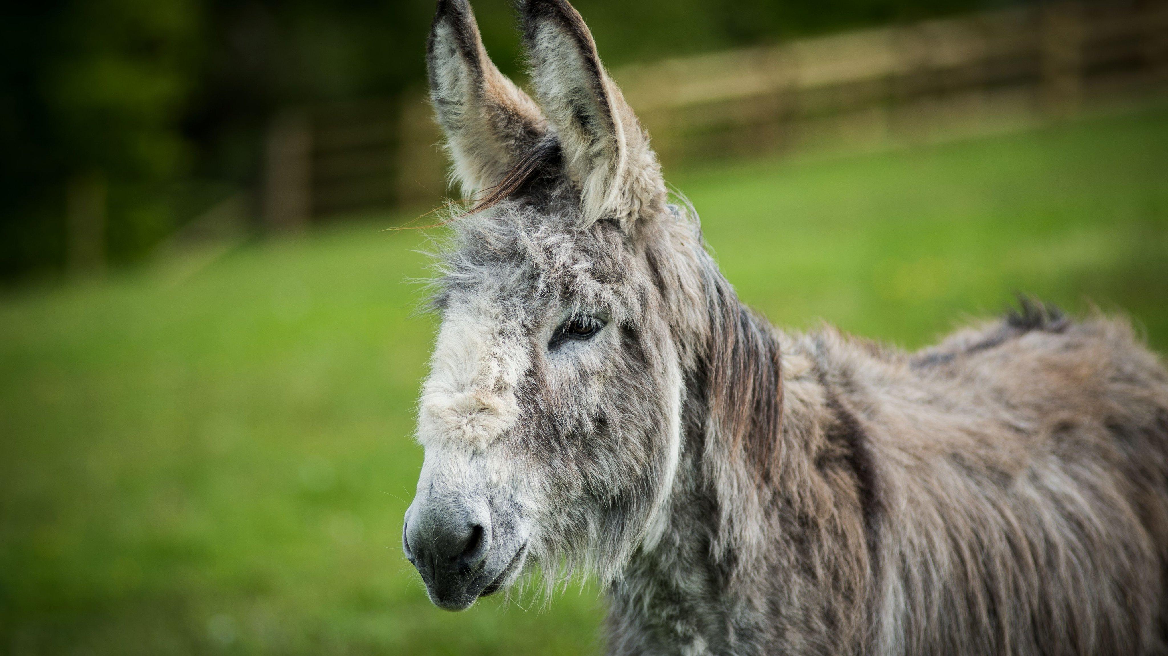Africans peeling their donkeys' skins for healing wrinkles in Chinese' skins