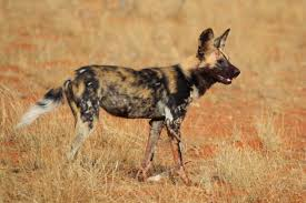 Science News Roundup: Unique anatomy helps the African wild dog sustain its life on the run; A scan of 10.3 million stars turns up no sign of aliens  and more