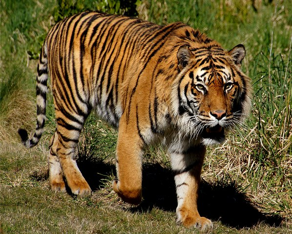 Maha: Shepherd killed in suspected tiger attack in Chandrapur