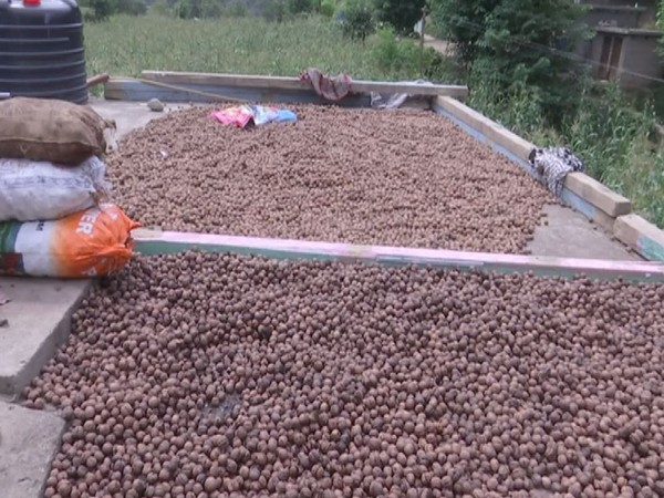 Bumper walnut crop grown with help of horticulture dept ready to hit market in J-K's Rajouri
