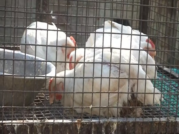 Over 750 poultry birds to be culled in Hingoli on Saturday