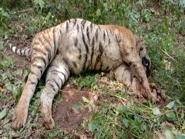 Tiger found dead in TN