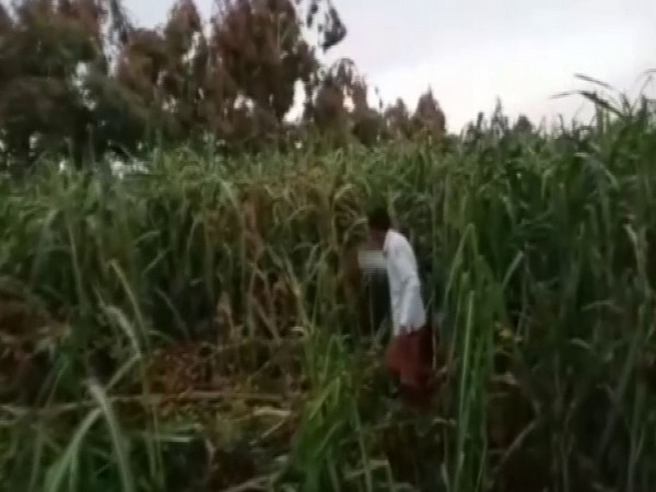Locusts leave behind trail of destruction in Uttar Pradesh's Sitapur