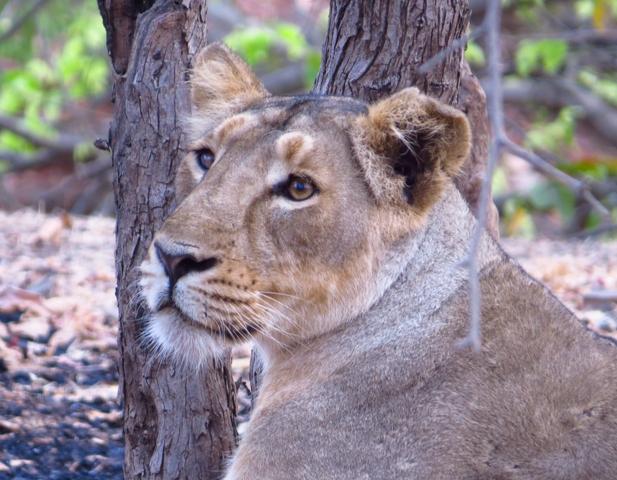 Lion cub found dead in Tulsishyam range of Gujarat's Gir forest