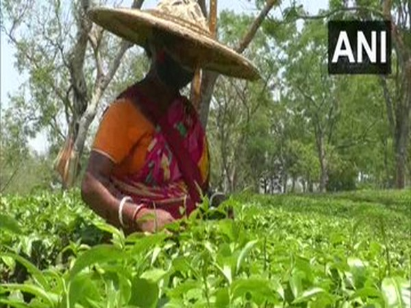 Lack of product mix variety, failure to leverage GI tag led to tea exports slowdown: Experts