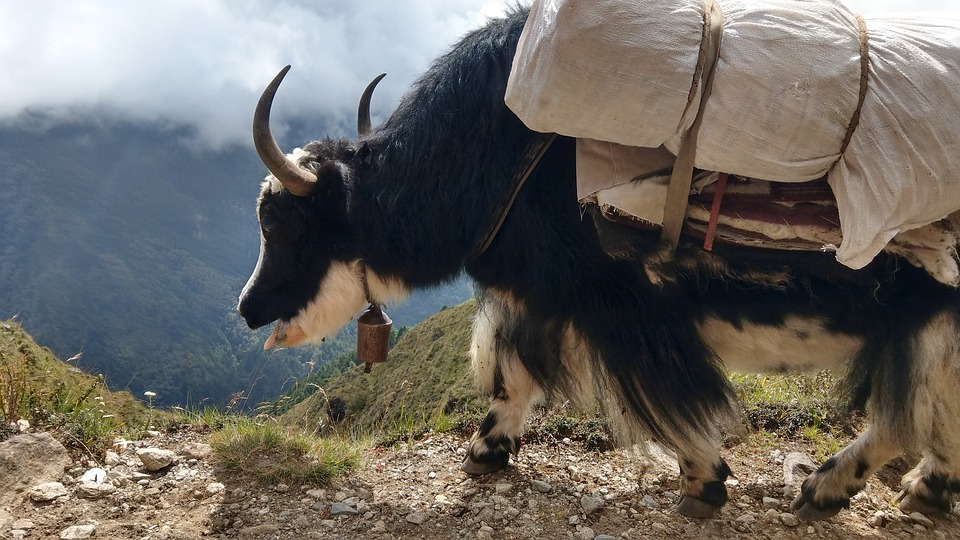 Hundreds of yaks die of starvation in North Sikkim; authorities assure compensation