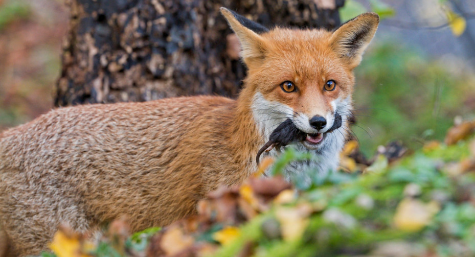 Himalayan red fox's subspecies spotted in Uttarakhand