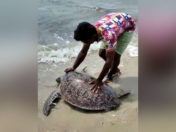 100 kg Macrocephaly turtle rescued, released into sea in Ramanathapuram