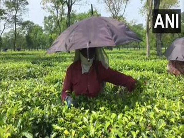 ITA estimates Rs 2,100-cr revenue loss for tea industry in Assam, West Bengal during Mar-May