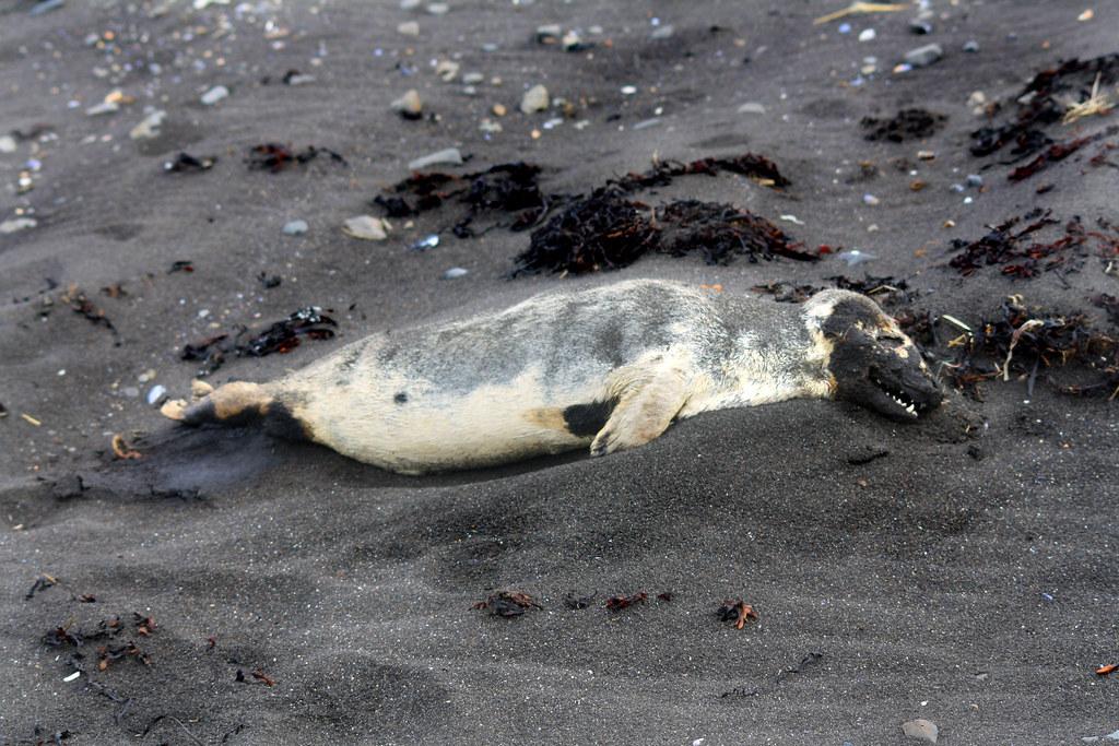 Alaskans find more dead seals along warming Arctic Sea