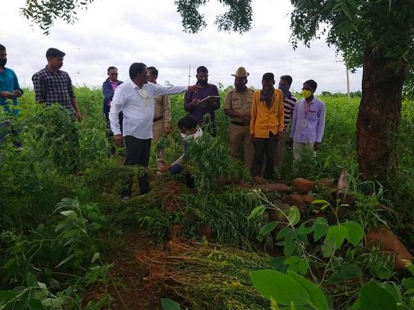 Kalaburagi police seize 223 kg Ganja plants, arrest one person