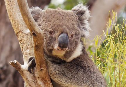 Sydney zoo's first baby koala in more than a year makes public debut