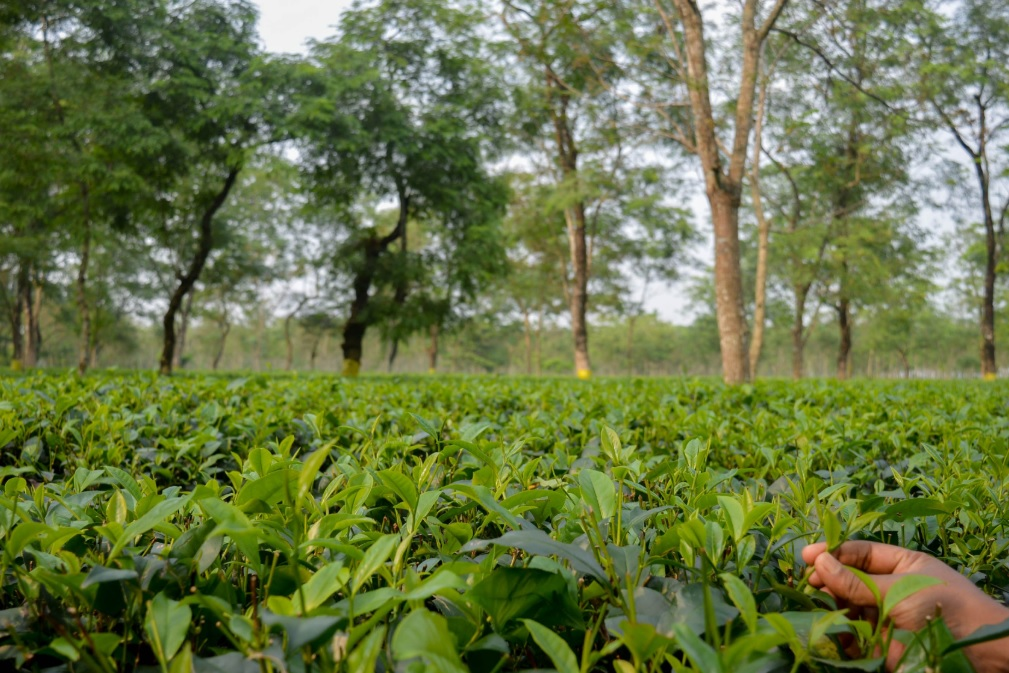 AgNext's AI solution for checking tea quality deployed in north-eastern states