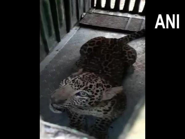 Maharashtra: Leopard captured by forest officials in Nashik