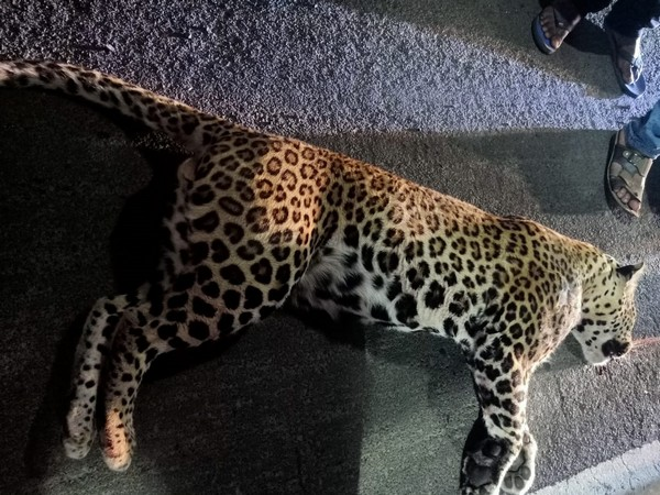 MP: Carcasses of two leopards found; electrocution suspected