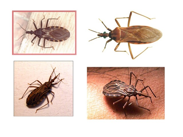 WHO calls for equitable access to healthcare to every Chagas disease patient