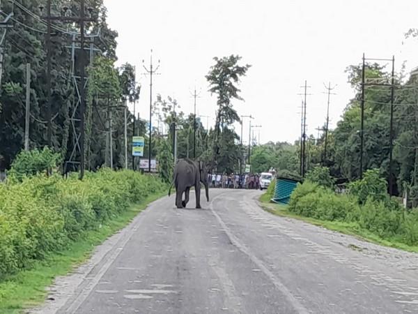 Wild elephant strays into village in Bengal's Jalpaiguri, destroys tea plantation