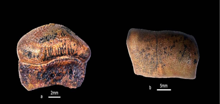 Teeth of new species of hybodontsharkof Jurassic age reported from Jaisalmer
