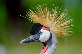 Rwandan conservationist helps to save hundreds of cranes