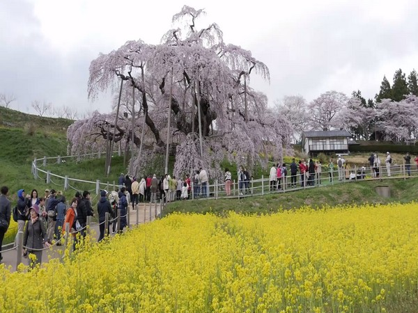 Japans 1000-year-old waterfall cherry tree attracts nature lovers