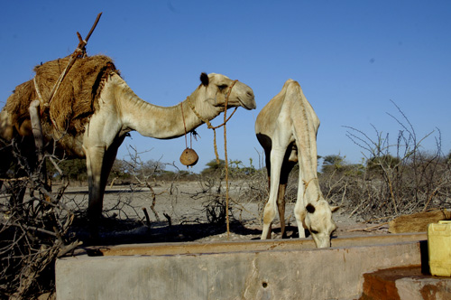Camel milk is 'white gold' in drought-hit Kenya
