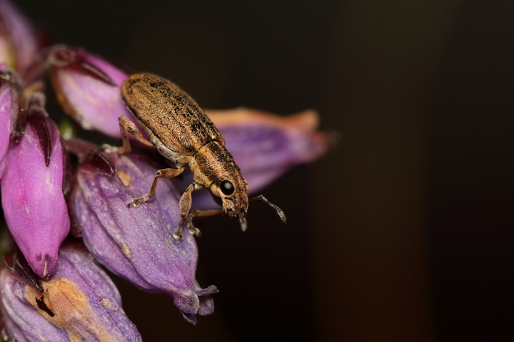 Pea weevil population successfully eradicated in Wairarapa