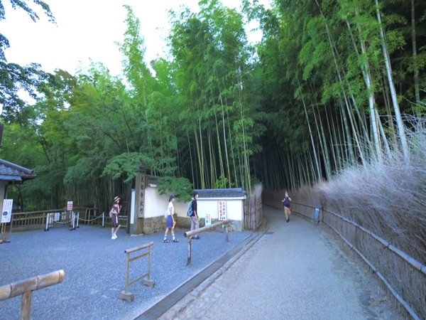 'Chikurin no Michi', a bamboo forest in Japan's Kyoto attracts visitors