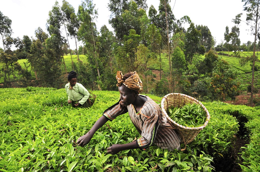 International Tea Day: Trusty cuppa represents 'crux' of today's issues – UN General Assembly president