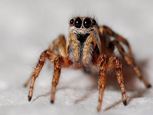 Surprising spider hair discovery may inspire stronger adhesives: Study