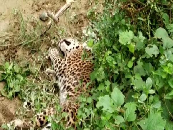 Leopard dies after being run over by goods train in Rajasthan's Bundi