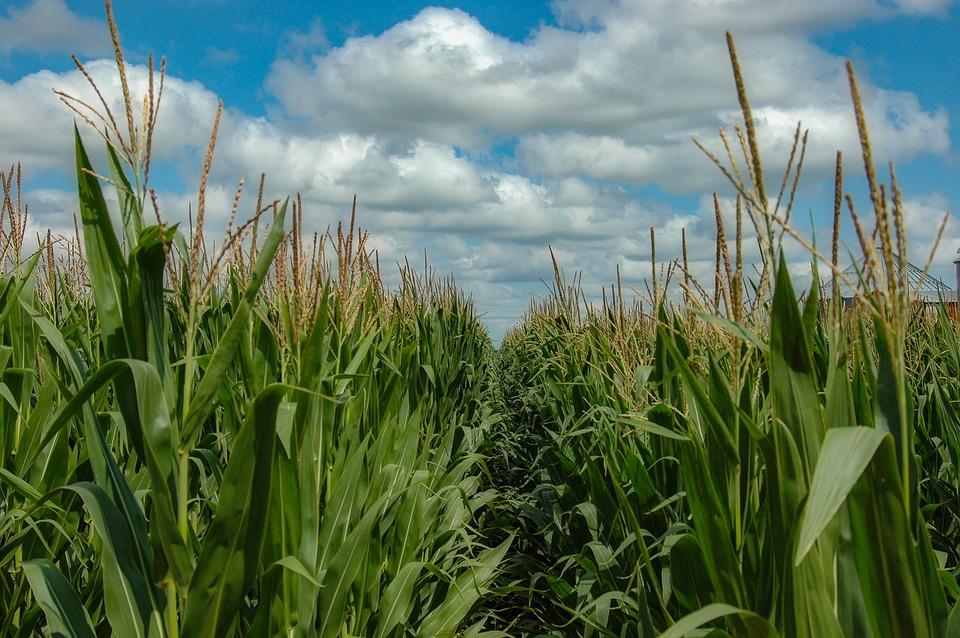 Mexico stalling GMO corn permits ahead of ban, says top farm lobby