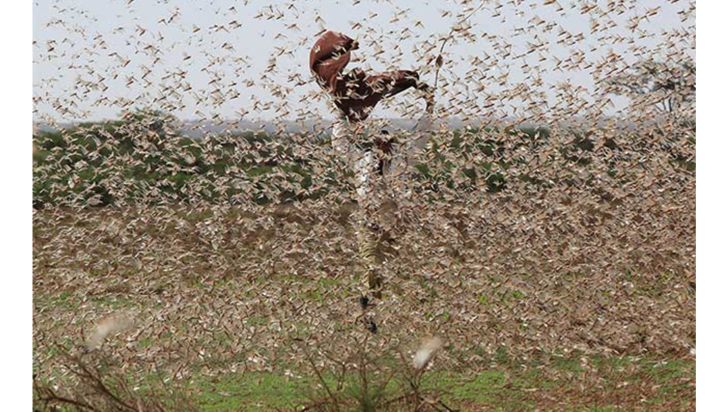 Locust attack in India: Jhansi fire brigade asked to be ready with chemicals after sudden movement of locusts