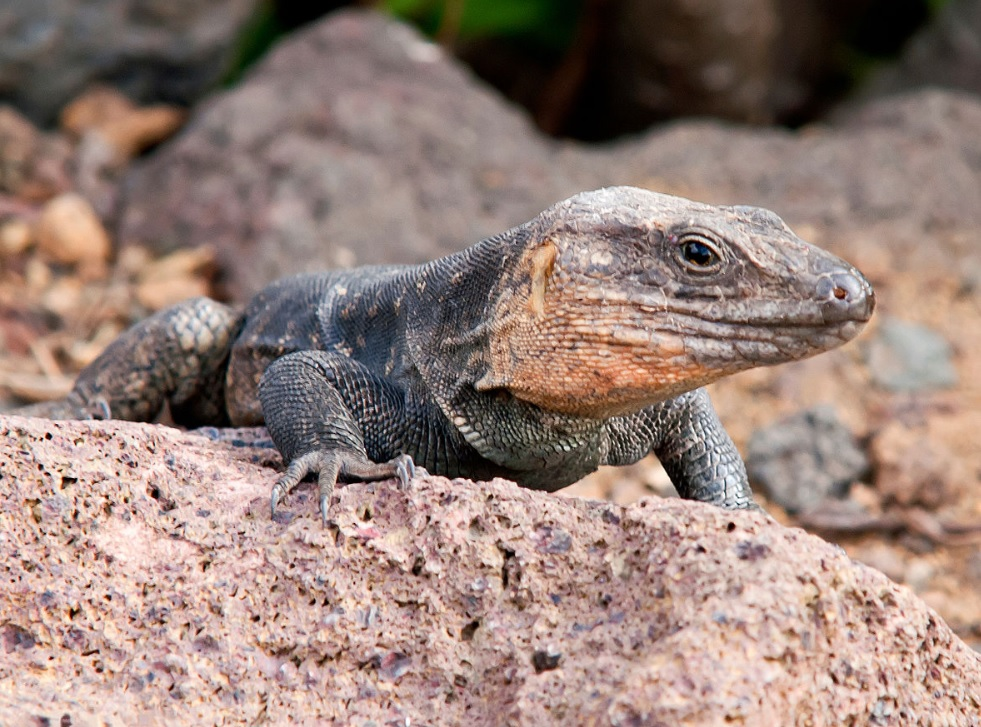 Delhi: Four-foot-long monitor lizard found in grocery store, rescued